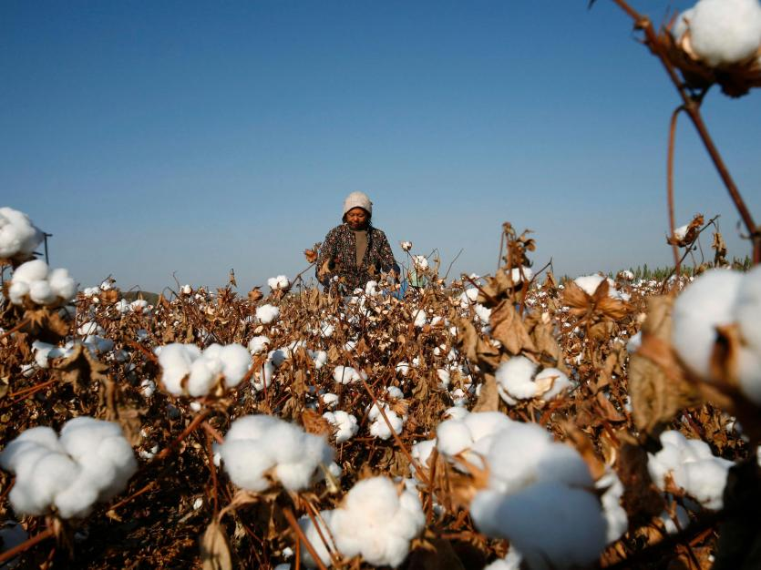 A farmer picks cotton on a farm on the outskirts of Hami, Xinjiang Uighur Autonomous Region November 3, 2010. U.S. retailers told to target forced labor in China after cotton import crackdown.